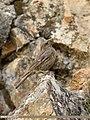 Red-fronted Rosefinch (Carpodacus puniceus) (36835638794).jpg