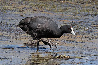 Red-knobbed coot - non-breeding condition, Ethiopia
