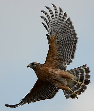 Red-shouldered hawk - Red-shouldered hawk taking flight at Green Cay Wetlands, Florida