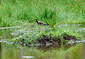 Red-wattled Lapwing 03224.jpg