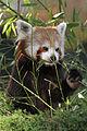 Red Panda (4030455472).jpg