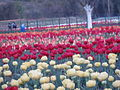 Red and White Tulips in the evening.JPG