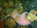 Red bait with strawberry anemones at North Friskies P5197856.JPG