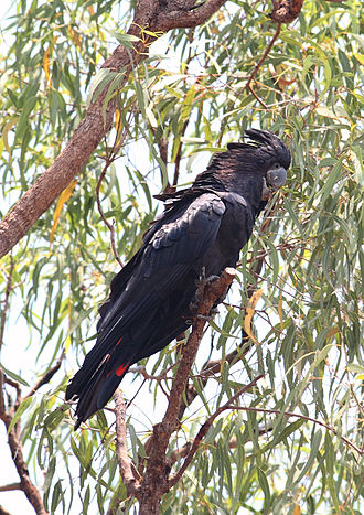 Red-tailed black cockatoo - Male, Northern Territory