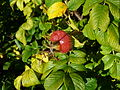 Redfruit.jpg