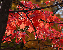 foglie di acero rosso red maple leaves