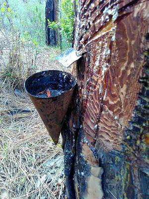 2016 Uttarakhand forest fires - Resin extraction from Chir pine