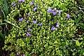 Rhododendron Bluebird Group at RHS Garden Hyde Hall, Essex, England.jpg