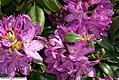 Rhododendron catawbiense Lees Dark Purple 0zz.jpg