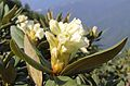 Rhododendron caucasicum at Rosa Khutor.jpg