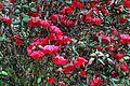Rhododendron thomsonii from Western Arunachal AJTJ.jpg