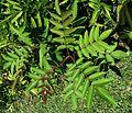 Rhus sandwicensis (5210101724) (2).jpg