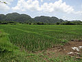 Rice-near-viñales-1.jpg