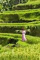 Rice terraces on Bali - Tegalalang Rice Terrace - Indonesia 06.jpg