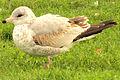 Ring-billed Gull, first winter plumage, Ottawa.jpg