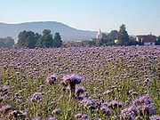Die Phacelia  zählt zu den sogenannten Bienentrachtpflanzen, die besonders reichhaltig Nektar und Pollen produzieren
