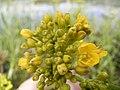 Rorippa amphibia bloem.jpg