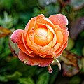 Rosa 'Lady Emma Hamilton' in Nuthurst West Sussex England 3.jpg
