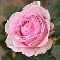 "Rosa ""Carinella"". 01.jpg"