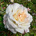 Rosa Celine Forestier 1.jpg