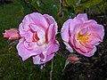 Rosa Pink Robusta 2017-09-29 6114.jpg