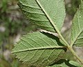 Rosa elliptica leaf (01).jpg