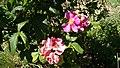 Rosa gallica splendens - Frankfurt Valamoros.jpg