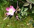 Rosa glauca fruit (07).jpg
