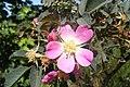 Rosa glauca inflorescence (19).jpg