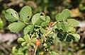 Rosa rubiginosa leaf (06).jpg