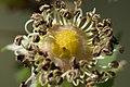 Rosa spinosissima inflorescence (51).jpg