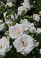 Rosarium Baden Rosa 'Aspirin-Rose' Tantau 1997 01.jpg
