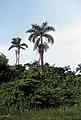 Roystonea dunlapiana (Scott Zona) 001.jpg