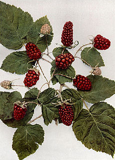 Loganberry species of plant