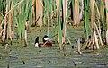 Ruddy Duck Cameo (7337794238).jpg