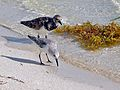 Ruddy Turnstone (Arenaria interpres) (Top) and Western Sandpiper (Calidris mauri) (6782223315).jpg