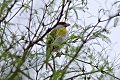 Rufous-browed Peppershrike (Cyclarhis gujanensis) (8077632006).jpg