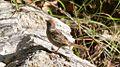 Rufous-crowned Sparrow - Hunter Canyon - Sierra Vista - AZ - 2015-09-08at09-04-323 (20637146933).jpg