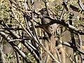 Rufous-crowned Sparrow Leslie Canyon NWR Douglas AZ 2017-11-24 12-27-06 (38363629434).jpg