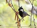 Rufous-naped Tit (Periparus rufonuchalis) (34906528251).jpg