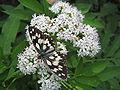 Rusenski Lom butterfly2.jpg