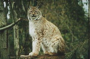 Lynx lynx, Zoo Heidelberg