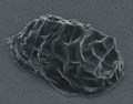 SEM image of Milnesium tardigradum in tun state - journal.pone.0045682.g001-3.png