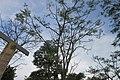 SZ 深圳灣公園 Shenzhen Bay Park tree crown blue sky June 2017 IX1.jpg