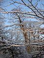 Saint-Germain-en-Laye, foret branches neige05429.jpg