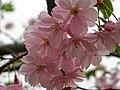 Saint Petersburg. Chinese Garden. Sakura tree2017 06.jpg