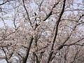 Sakura in Hayashima Park.jpg