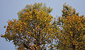 Sal (Shorea robusta)- flowering canopy W Picture 117.jpg