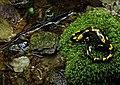 Salamandra salamandra 2.jpg