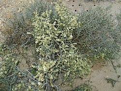 Saligne à balait ( arthrophitum scoparium) famille des chénopodiacées du Djebel Bir El Haffey gouvernorat de sidi bouzid (by naouel hakim).JPG